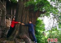 旺蒼髮現一棵上千年古銀杏樹  年產果達1噸以上