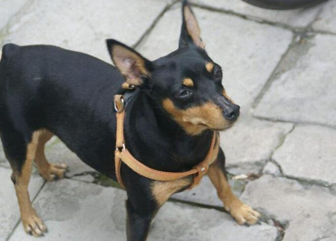 寵物圖集:迷你杜賓犬圖片