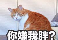 養貓必知!貓咪變肥胖的4大真實原因,不怪貓,怪你!