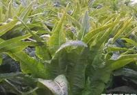 種萵苣用什麼肥料好,怎麼施肥最好?種植萵苣用什麼肥料產量高?