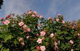 花卉大全——木芙蓉
