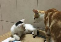 女子帶回只小貓,怕家裡的老貓生氣,沒想到一見面就抱著人家舔毛