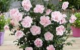 如今香水不如花,這六盆擺在家中,增福增貴芳香四溢