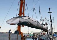 石油拯救藍鯨:海洋之王曾經成犧牲品,差一點絕種!