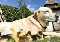 小鴨子從小失去父母,狗狗將它帶大,每次畫風都不一樣,太有愛了