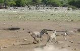 雄斑馬不知為何要淹死小斑馬,斑馬媽媽努力保衛孩子