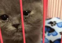 貓咪被關進籠子滿臉淚水,主人回家看到聲音沙啞的貓咪心都碎了!