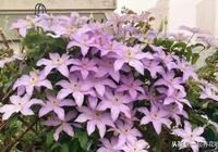最適合種在陽臺上的8種爬藤植物,1個月能長成花瀑布,鄰居都羨慕