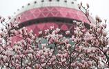 上海陸家嘴網紅白玉蘭又迎花期,掩映東方明珠成地標美景