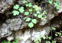 這種野草不要破壞掉,長在岩石上,比雪蓮還要珍貴(巖蓮)