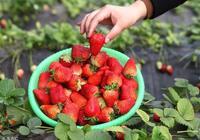 喜歡吃草莓的人,會收穫這5大好處!然而,有類人不建議多吃