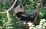 """""""三伏""""第一天,北京動物園大熊貓玩""""躲貓貓"""",姿態各異萌化了"""