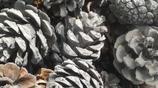 松樹塔植料的製作方法,大概需要一整年的時間