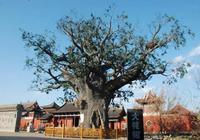 山西大槐樹是山東人的老家?1230個姓氏從這裡遷出繁衍生息!