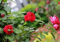 最好看的三種月季,花色妖豔美麗,花香濃郁好聞,讓人愛不釋手