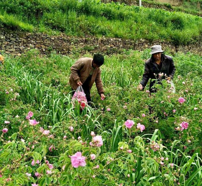 小金縣新橋鄉共和村:三百畝玫瑰花海鋪就貧困村致富路