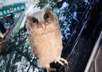 蓮花北一樹上掉下兩隻小貓頭鷹 原是國家二級保護動物領角鴞