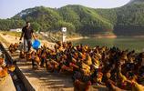 廣西靈山綠野庫區育香雞