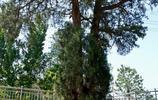 """古樹長在""""半空"""",竟活了1100多年,就在河北石家莊這個小村莊"""