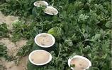 """露天瓜地出現許多白色""""帽子"""",農民稱這是為了躲避天災"""