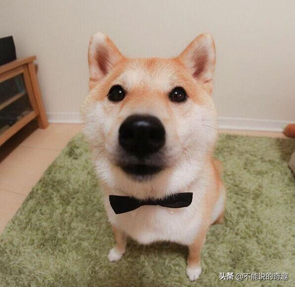 這隻日本柴犬不靠賣萌,靠一項特殊的技術受網友追捧爆紅網絡