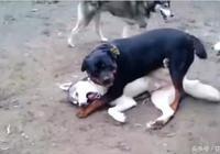 哈士奇仗著狗多欺負羅威納,卻被羅威納一個絕招給秒殺了