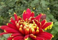 這樣的菊花非常養眼耐看,不信打開看看