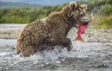 抓拍狗熊捕捉鮭魚的畫面,真是弱肉強食