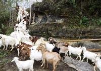 山羊養殖技巧分析,農民掌握這些養羊技巧絕對受益