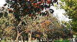 您見過大學裡種植了1000多棵柿子樹嗎?大學生不用去市場買柿子了