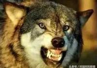 狼和哈士奇真的有那麼難區別嗎?踹一腳看它們的反應就知道扌