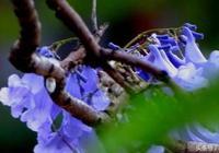 美麗開遠四月天的藍花楹