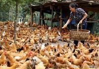 土雞寶典:雞爪子發乾,夏季雞痘咋處理,雞扎堆,雞斷喙