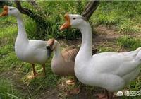 農村養殖的家鵝,其最長壽命可達多少年?鵝養久了還會下蛋嗎?