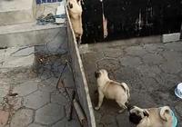 巴哥犬想要越獄,豬一樣的隊友拖了後腿,你難道是主人派來臥底?