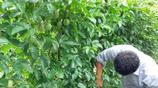 廣西北流:山村裡農村小夥種出的百香果,肥美多汁,看了都流口水