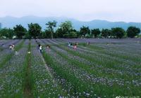 福州花海公園的馬鞭草,一片夢幻的紫色,讓人沉浸其中