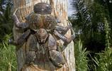鏡頭下:比帝王蟹還大隻的叫做椰子蟹,擅長爬樹摘椰子,市場價格昂貴