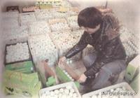 """你見過""""綠殼的雞蛋""""嗎?新品種養殖,創業前景好!"""