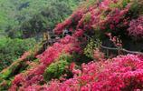 距武漢市區60公里處,有一個絕美的野生杜鵑花海,你知道嗎