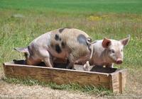 豬呼吸道疾病,你應該重視!