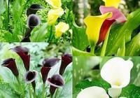 彩色馬蹄蓮鮮切花的反季節栽培技術