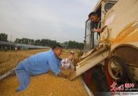 安徽淮北小麥喜獲豐收