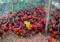 雞傳染性支氣管炎的發生原因,如何鑑別診斷,有效預防和治療?