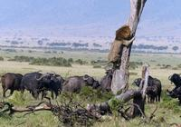 獅子衝進斑馬群,將小斑馬鎖喉撲倒,沒想到下一秒就悲劇了