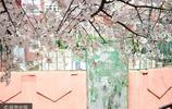 青島:居民區的櫻花街道似景區,吸引眾多遊人拍照秀恩愛