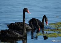 北京順義區潮白河來了稀客——黑天鵝
