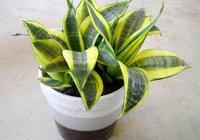 虎尾蘭的種植方法 如何讓自家的虎尾蘭長得更好