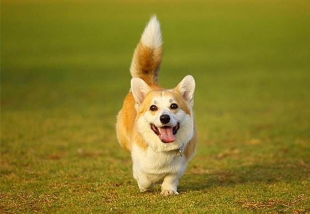 給狗狗斷尾,到底是殘忍還是為了它好,這其中的原因你瞭解嗎?