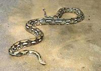 世界上最大的蟒蛇,你能想象有多大嗎?它可以吃掉幾百斤的鱷魚
